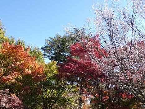 「きれぎれの風彩 「きれぎれの風彩「城峯公園の冬桜と紅葉 1130-1」