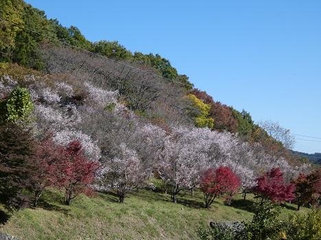 「きれぎれの風彩 「きれぎれの風彩「城峯公園の冬桜と紅葉 1130-2」