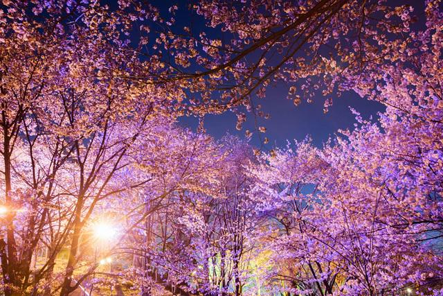 上ところの夜桜