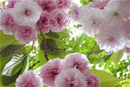 桜茶は八重桜