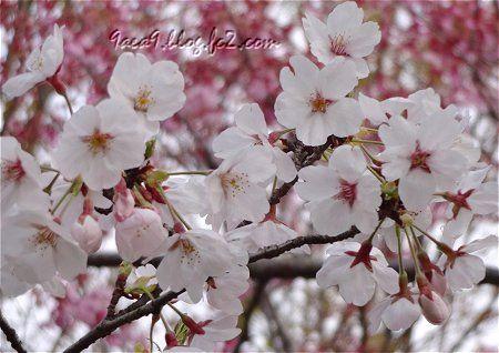 さくら公園の 桜の共演 1