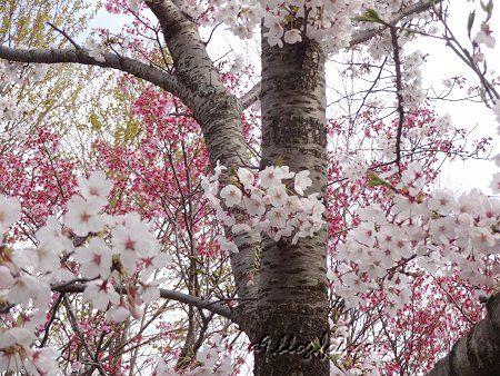 さくら公園の 桜の共演 2