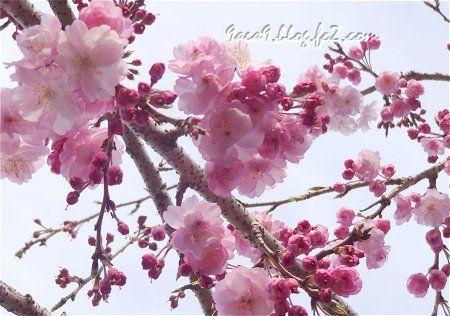駐車場の桜 3