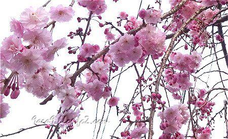 駐車場の桜 4