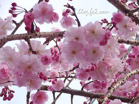 駐車場の桜 1