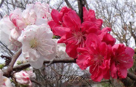 花桃品種の源平桃 江戸時代に品種改良をされた花だそうです。1