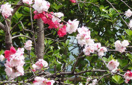 花桃品種の源平桃 江戸時代に品種改良をされた花だそうです。3