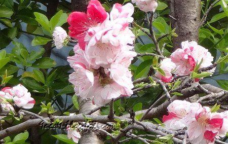 花桃品種の源平桃 江戸時代に品種改良をされた花だそうです。2
