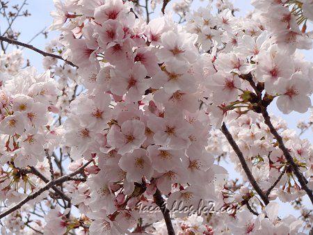 小学校の桜 2