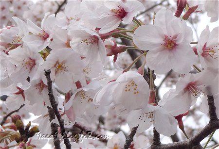 小学校の桜 3