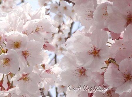 小学校の桜 1