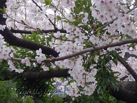お家の近所の桜 3
