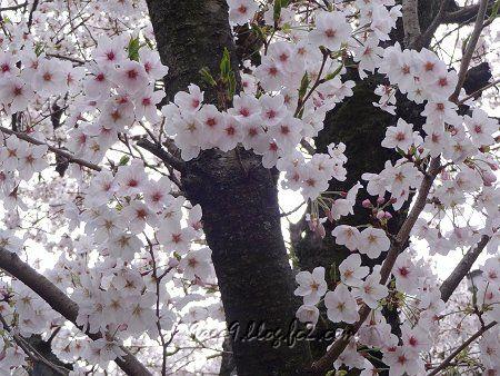 お家の近所の桜 2