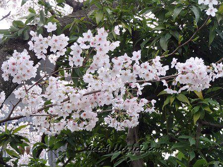 お家の近所の桜 1