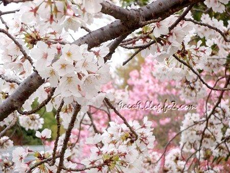 さくら公園の 桜の共演 3