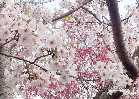 さくら公園の 桜の共演 4
