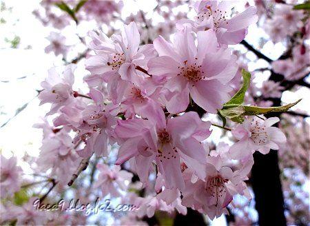 病院に行った帰りの歩道でみた遅咲きの桜 1