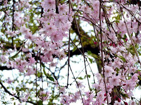 病院に行った帰りの歩道でみた遅咲きの桜 2