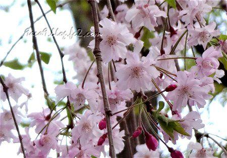 病院に行った帰りの歩道でみた遅咲きの桜 3