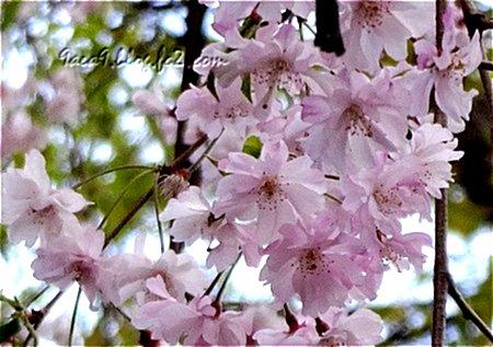 病院に行った帰りの歩道でみた遅咲きの桜 6