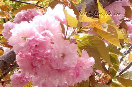 八重桜 加工 1