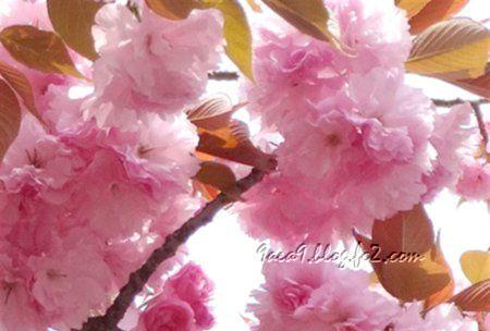 八重桜 加工 3