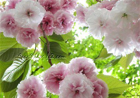 八重桜 再 1