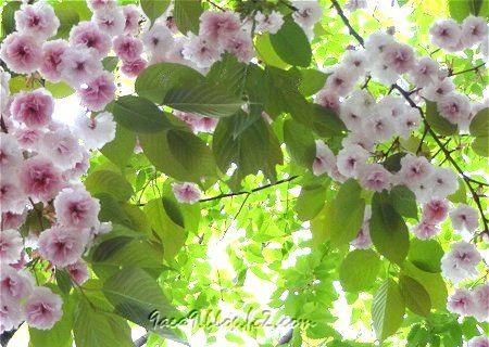 八重桜 再 2