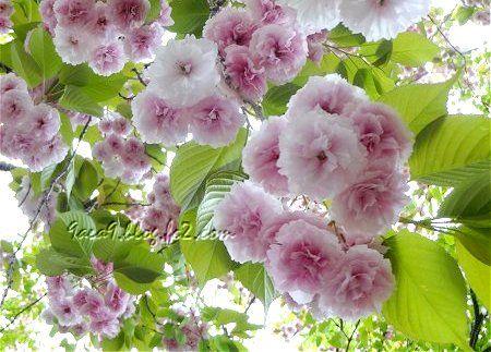 八重桜 再 3