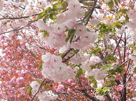2020 4 16 ミックス 八重桜 1