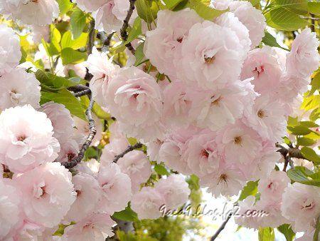 2020 4 16 淡くてかわいい八重桜 1