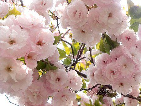 2020 4 16 淡くてかわいい八重桜 3
