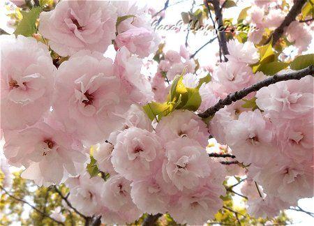 2020 4 16 淡くてかわいい八重桜 4