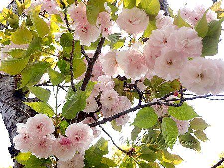 2020 4 16 淡くてかわいい八重桜 2