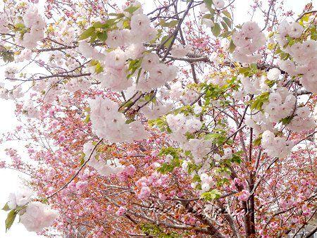 2020 4 16 八重桜の共演 3