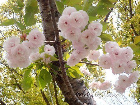 2020 4 16 八重桜の共演 4