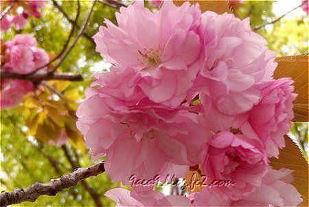 2020 4-19 葉の茶色い 八重桜 1