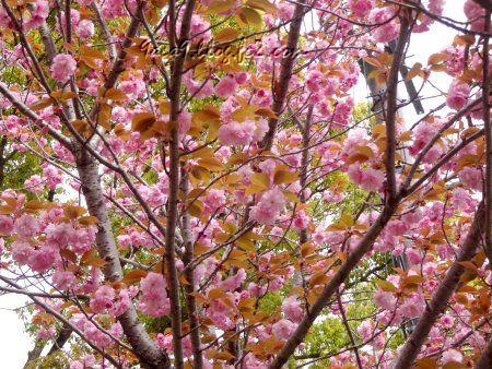 2020 4-19 葉の茶色い 八重桜 2