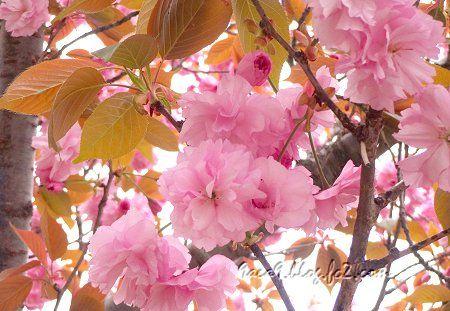 2020 4-19 葉の茶色い 八重桜 3
