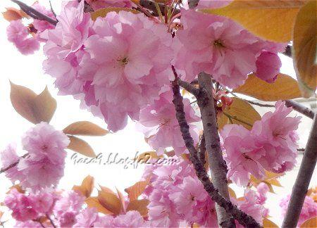 2020 4-19 葉の茶色い 八重桜 6