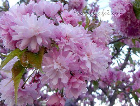 2020 4 -24 花びらが細かい八重桜 1