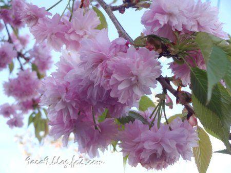 2020 4 -24 花びらが細かい八重桜 2