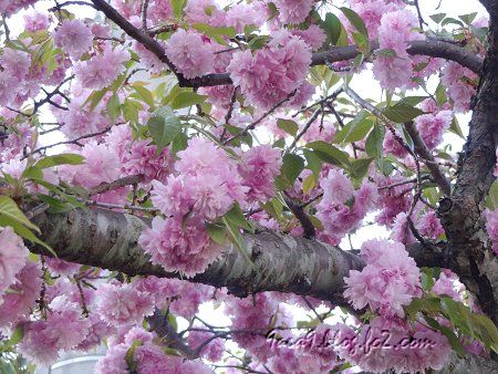 2020 4 -24 花びらが細かい八重桜 3
