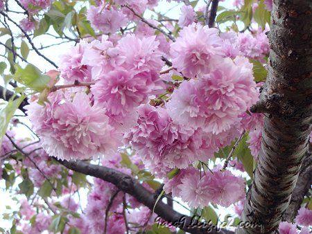 2020 4 -24 花びらが細かい八重桜 その2 1