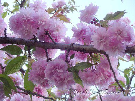 2020 4 -24 花びらが細かい八重桜 その2 2