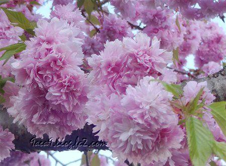 2020 4 -24 花びらが細かい八重桜 その2 3