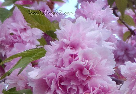 2020 4 -24 花びらが細かい八重桜 その3 -2