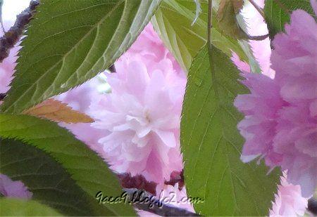 2020 4 -24 花びらが細かい八重桜 その3-1