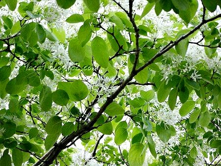 通勤道の樹々がいっきに新緑に 1