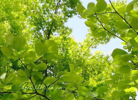 新緑の葉の透明感が凄い 晴天が続くと数日で濃くなってしまう。1